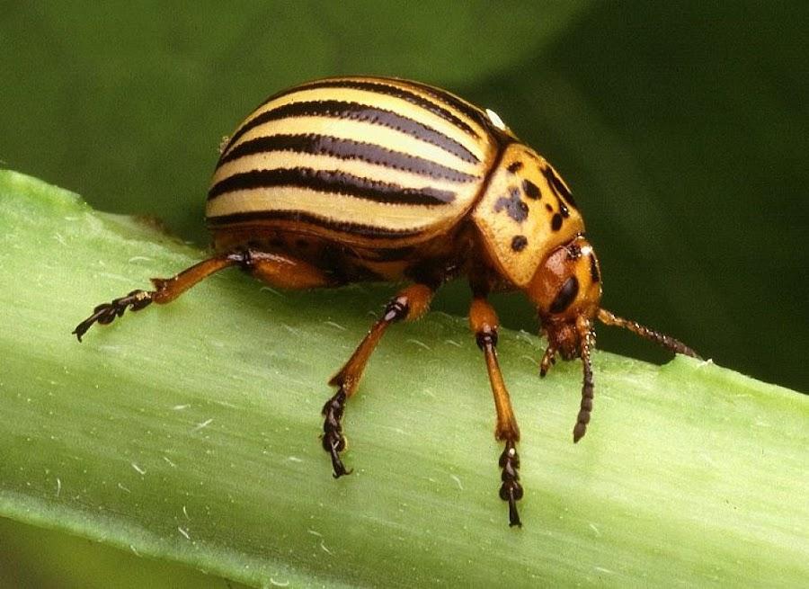 El escarabajo de la patata