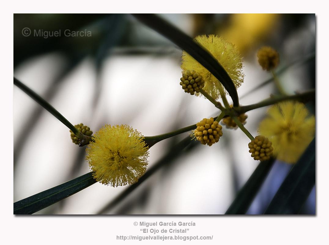 Flores de Acacia Saligna.