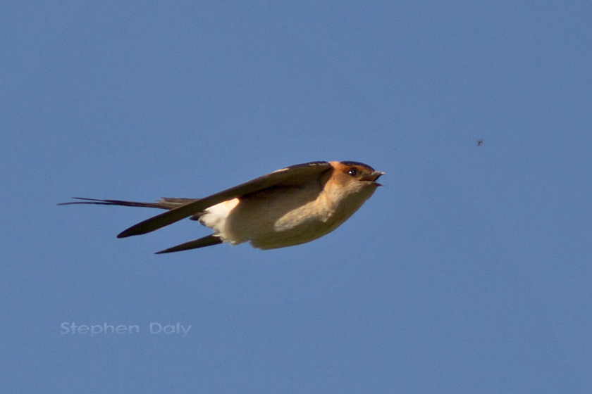 Red rumped Swallow fly 0175