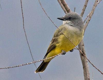 Photo of Cassin's Kingbird in sapling