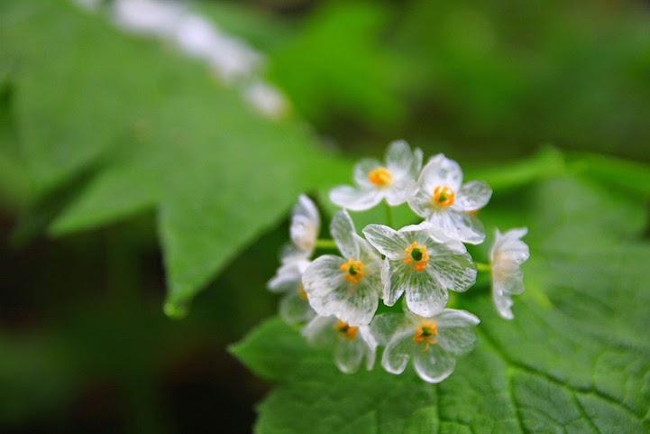 75 Diphylleia grayi, Bunga Ini Akan Berubah Transparan Jika Terkena Air