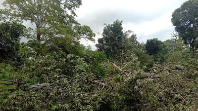 Akibat Pohon Tumbang, Listrik Dua Kecamatan di Lotim ini Mati