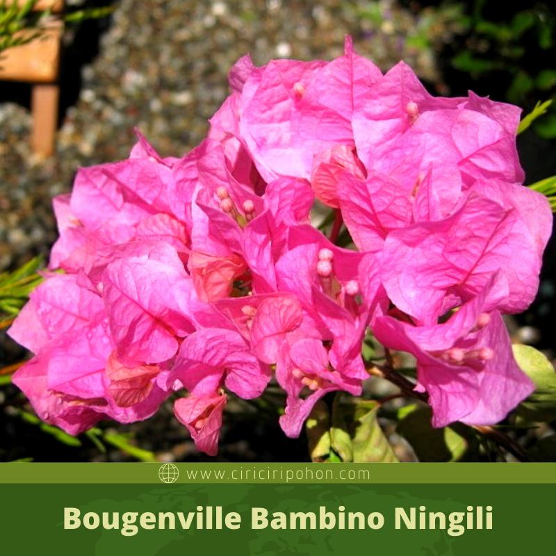 Bougenville Bambino Ningili