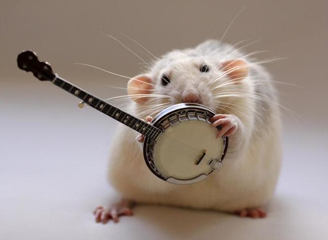 funny rats pets cute and docile. Black Bedroom Furniture Sets. Home Design Ideas