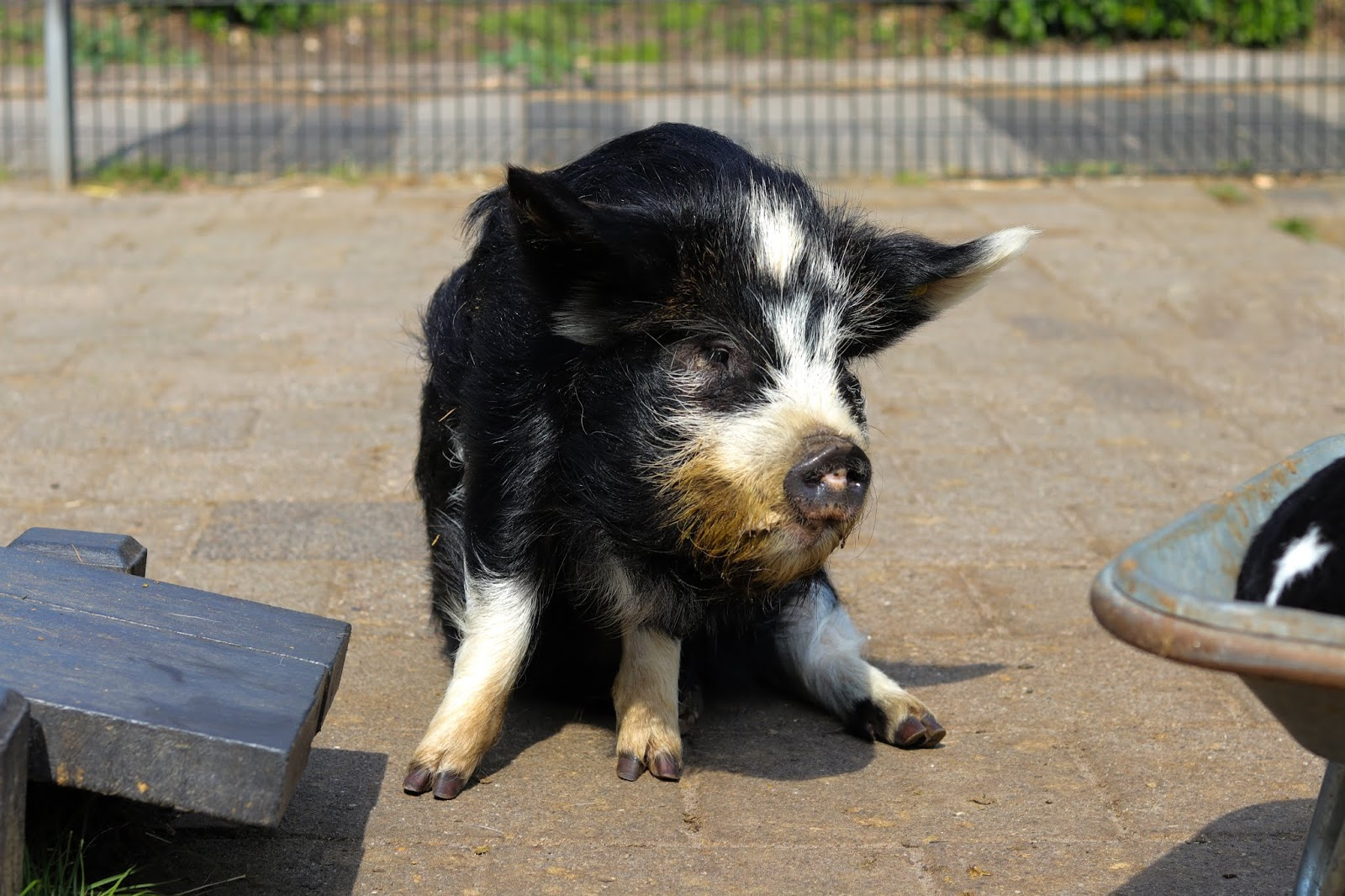 A farm pig posing for a photo