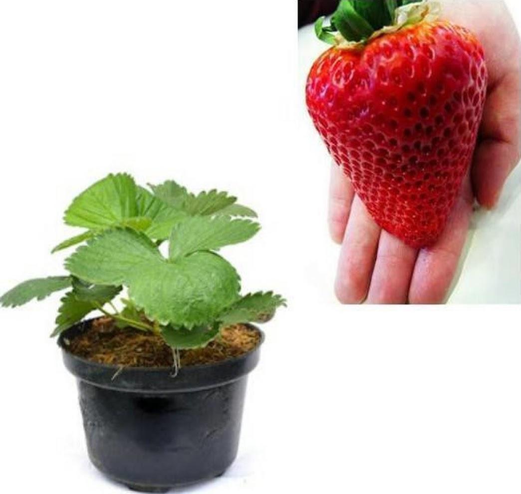 Bibit Strawberry Jumbo Holland Sumatra Utara