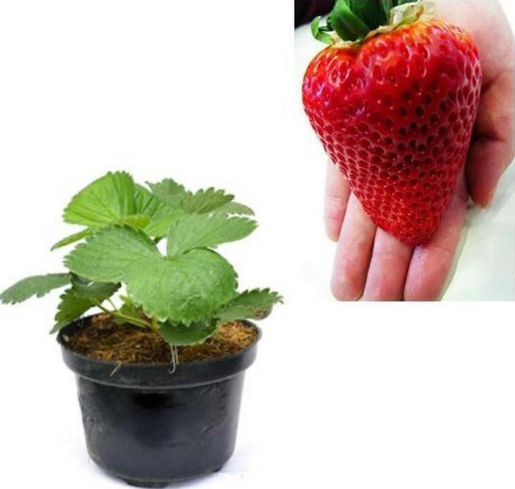Bibit Strawberry Jumbo Holland Jawa Barat