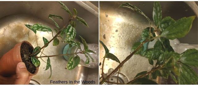 Spraying plants with insecticidal soap