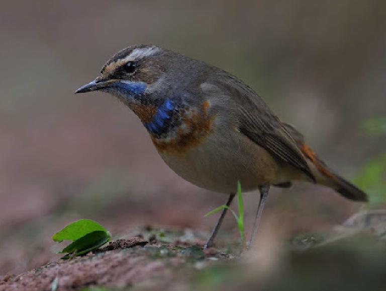 Bluethroat (Luscinia Svecica)