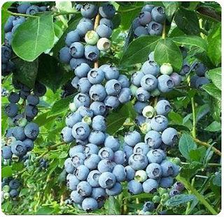 Manfaat Buah Bilberry untuk Kesehatan