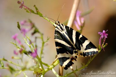 Calimorfa Euplagia Quadripunctaria - Mariposa Tigre (fotografia-de-naturaleza.blogspot.com)