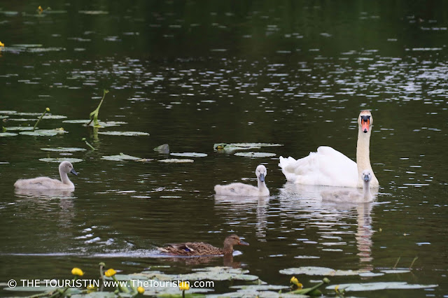 A mother swan with three young grey swan chicks and a duck and yellow water lilies on a lake.