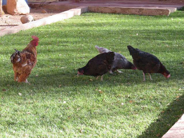 überglückliche Hühner legen täglich 2 frische Eier