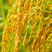 Rice plant and grains