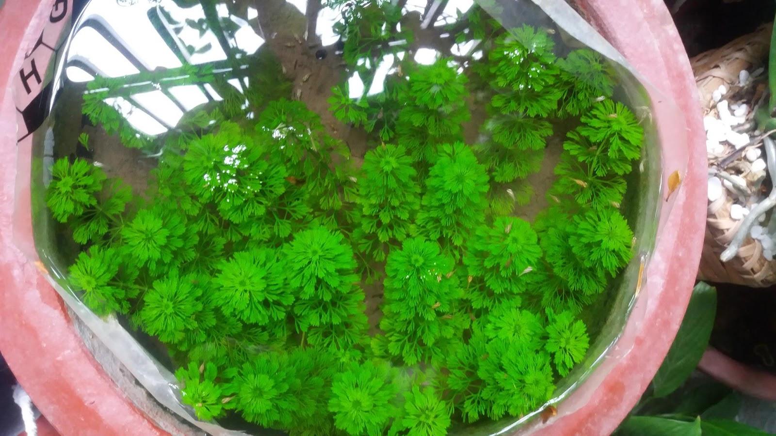 Cây thủy sinh tiểu bảo tháp trồng trong chậu ngoài trời của bạn Hồ Duy Khang