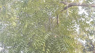 neem leaf,neem leaf image