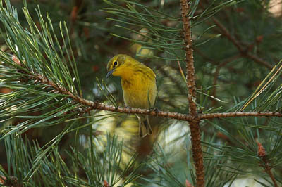 Photo of Pine Warbler in pine tree