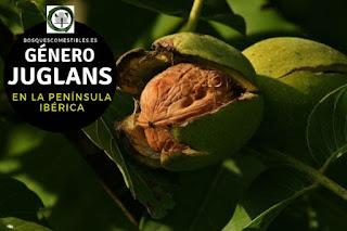 El género Juglans son arboles caducifolios con hojas pinnadocompuestas y sin estípulas, frecuentemente resinosos