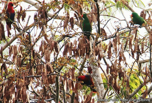 Eclectus parrot in lowland forest.