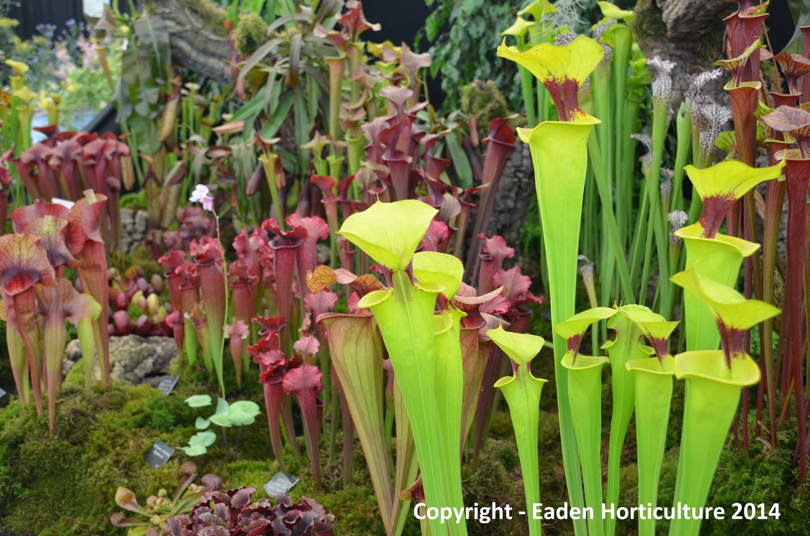 how to grow the pitcher plant from seed the garden of eaden
