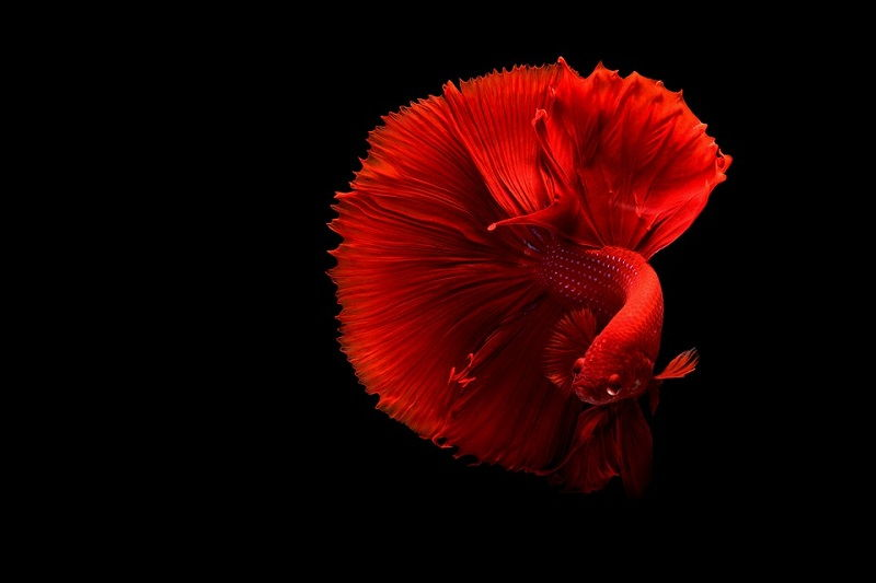 Image Red Betta
