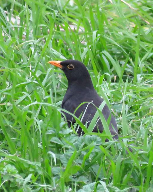 Blackbird in Piazza dell Vittoria, Livorno