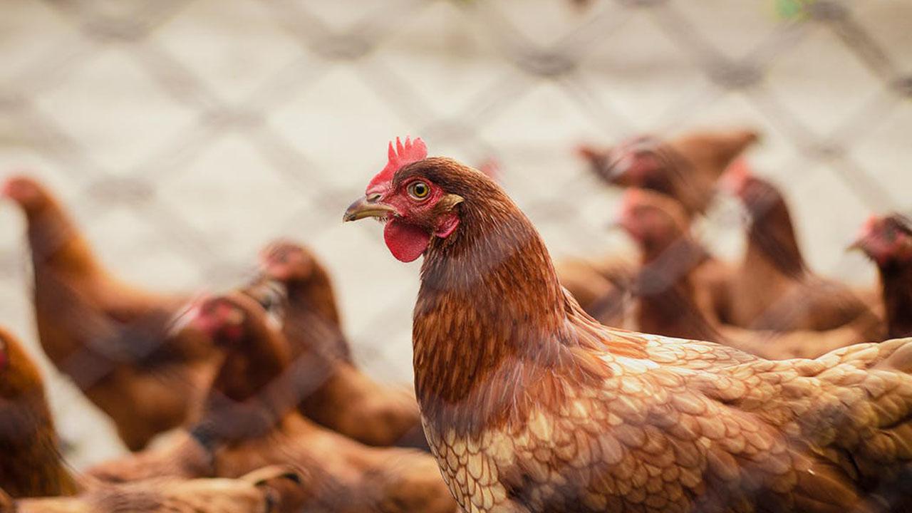 Memilih Telur Ayam Negeri dengan Cara Baik dan Benar