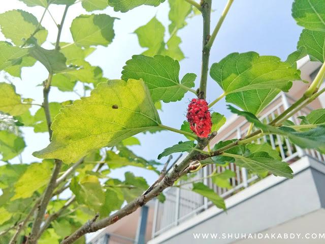 Khasiat Pokok Mulberry