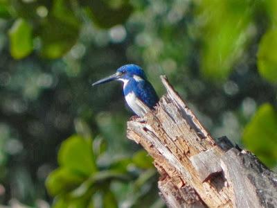 Martín pescador azulado Alcedo coerulescens