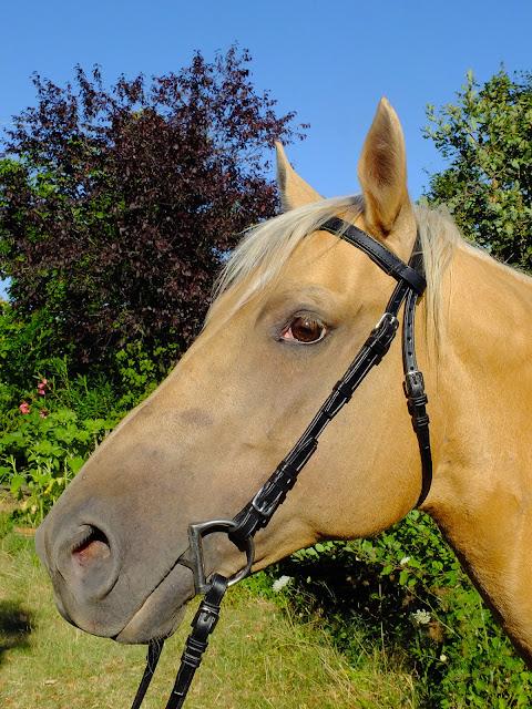 Testiera artigiananle per cavalli taglia Cob realizzata in cuoio nero con fibbie in acciaio inox