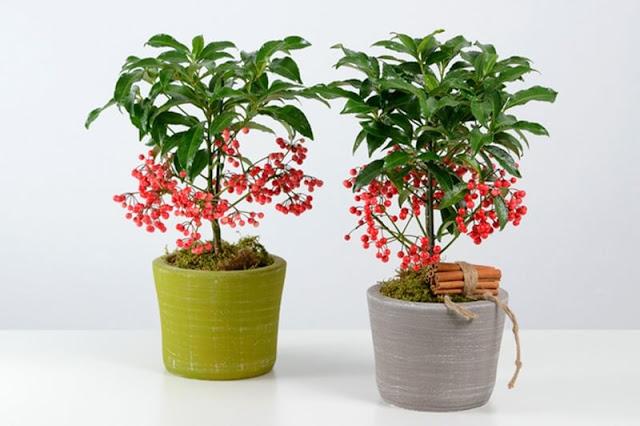 Kỹ thuật trồng và chăm sóc cây Kim ngân mang đến sự may mắn tiền tài cho gia chủ