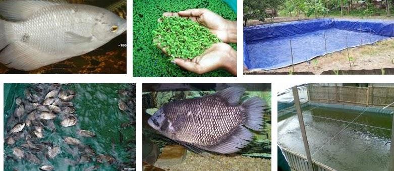 Teknik Beternak Ikan Gurame untuk Pemula Cepat Panen
