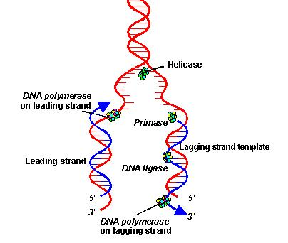 Dna Replication Diagram Spendlove Biology (201...