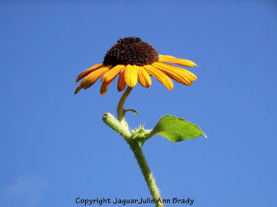 An Impressive Singular Yellow Sunflower Blossom with Blue Sky Backdrop