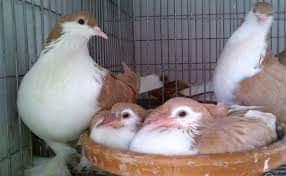[কবুতর পালন] কবুতরের সম্পর্কে জানা-অজানা কিছু তথ্য। Some information about pigeons.