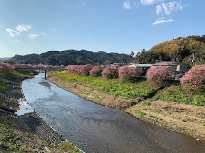 湯けむり橋から見た河津桜