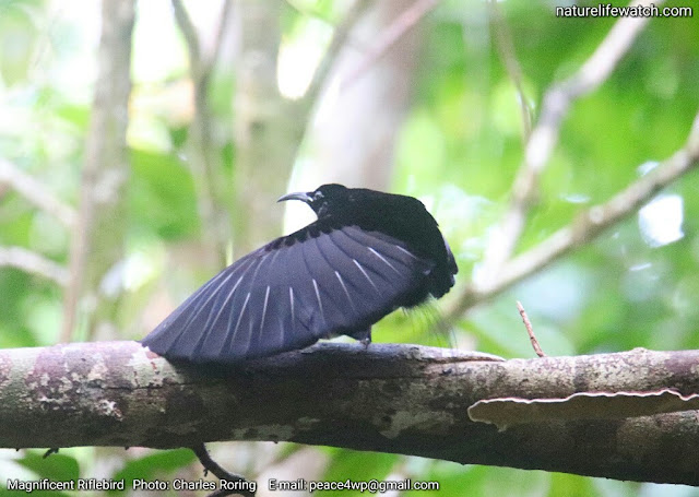 Magnificent Riflebird (Ptiloris magnificus) in the forest near Sorong