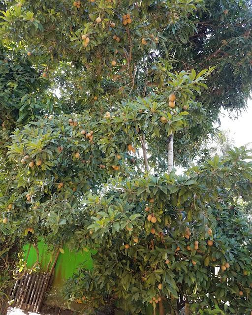 tanaman sawo di halaman rumah