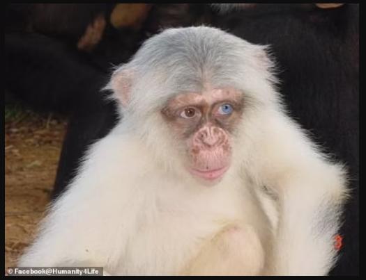 First ever wild albino chimpanzee in Uganda brutally killed