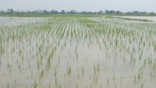 Dewan Minta DINAS Bantu Cadangan Benih Paska Banjir