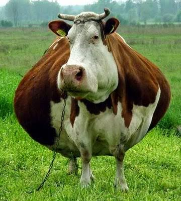 funny fat cow joke picture