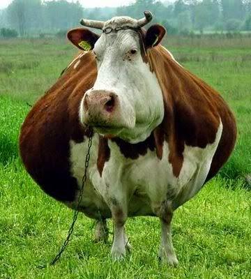 funny fat cow joke picture