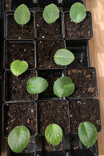 African Violet Propagation Experiment