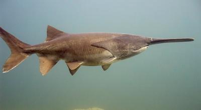 american paddlefish ikan air tawar terbesar