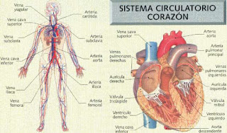 Sistema circulatorio y biologia de los organismos