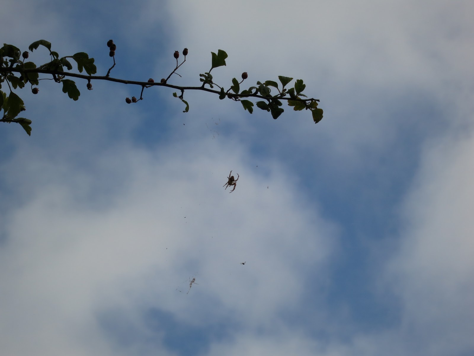 Spider hangs from hawthorn where flies collect in its web