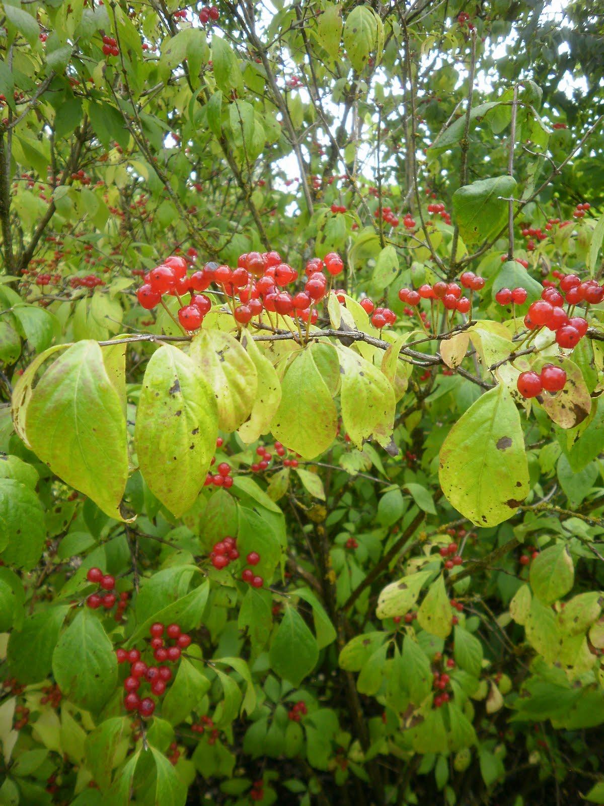 Koiruuksia Kukkasin Kumpulan Kasvitieteellinen Puutarha