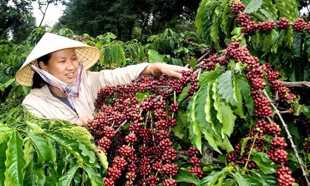 Giá cà phê hôm nay 1/5: Giao dịch quanh ngưỡng 32.500 - 33.600 đồng/kg