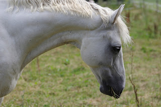 Close up of a White horse grazing in a field