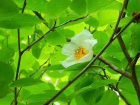 光則寺の沙羅双樹